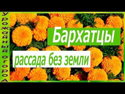 РАССАДА БАРХАТЦЕВ БЕЗ ЗЕМЛИ! - YouTube