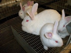 About New Zealand White Rabbits  --great site!  Loads of information!