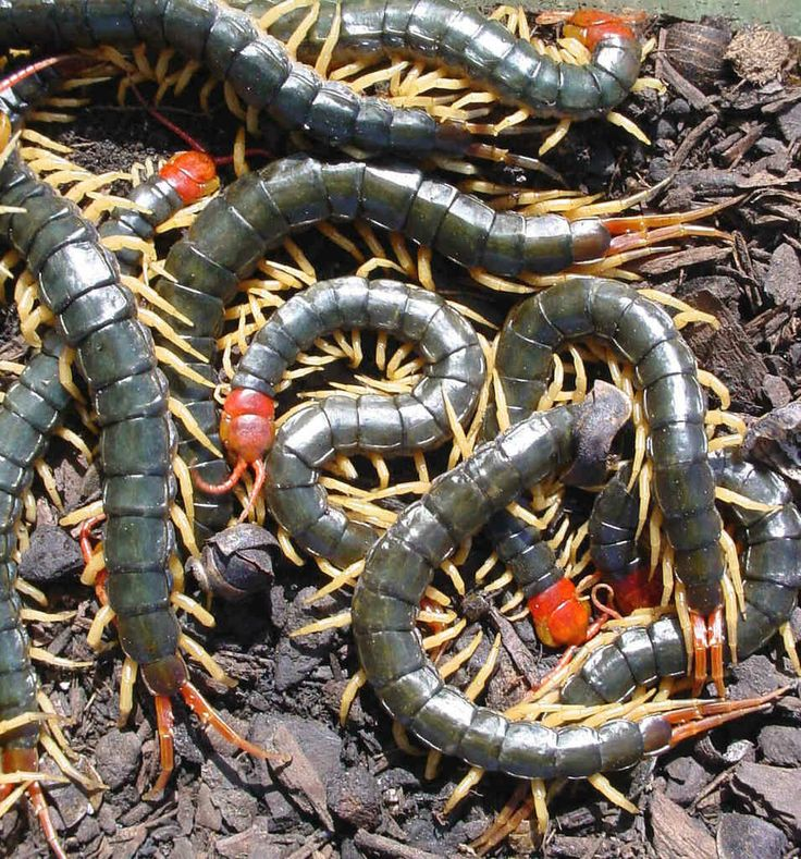 biting poisonous centipedes the only reason i dont want to move to maui knowledge is. Black Bedroom Furniture Sets. Home Design Ideas