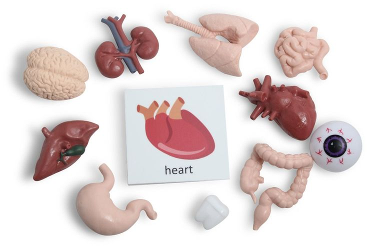 Amazon.com: Montessori Human Organ Match - Miniature Body Parts with Cards to Match - Early Childhood Biology Learning Toy: Toys & Games