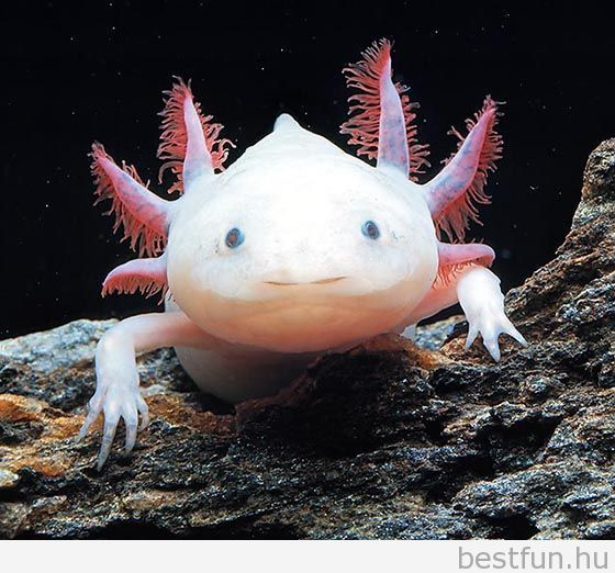 20 best Axolotl images on Pinterest Amphibians Reptiles and