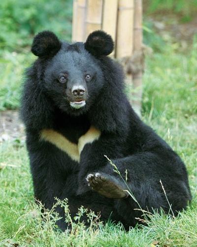 Animals Asia's China Moon Bear