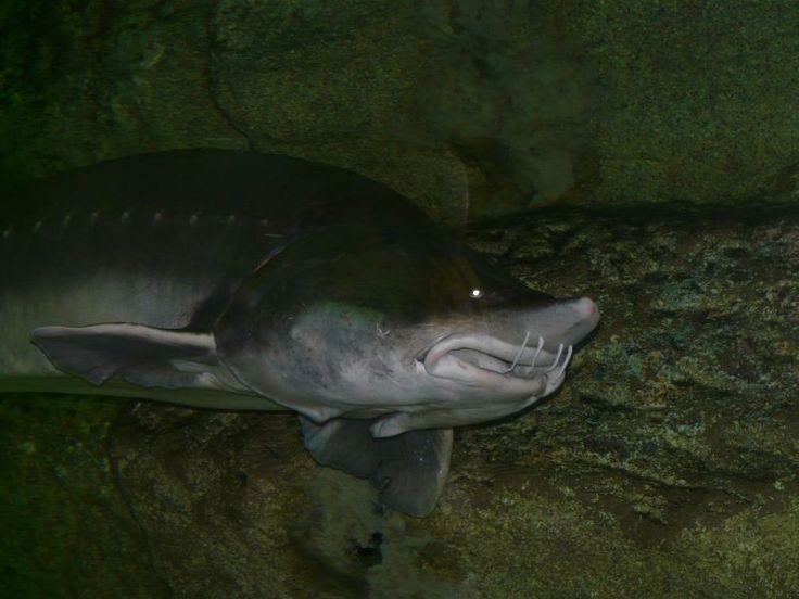 Калуга — пресноводная рыба рода белуг, семейства осетровых. Длина до 5,6 м, весит до 1 т. Рот большой, полулунный. Распространена калуга в бассейне Амура, встречается в Аргуни и Шилке, есть в Сунгари. В море за пределы Амурского лимана не выходит. Различают проходную, лиманную, быстрорастущую калугу, поднимающуюся для нереста в Амур из лимана, и жилую амурскую калугу, не совершающую больших передвижений по Амуру и никогда не спускающуюся в лиман. Перед нерестом немного поднимается вверх по…
