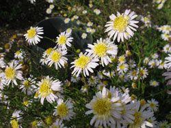 Kalimeris pinnatifida var. hortensis - Japanaster neben Kalimeris incisa,  Folgeblüte. Diese Pflanze wird etwa 25 cm höher als K. incisa und fängt nach deren Hauptblüte mit der Blüte an.