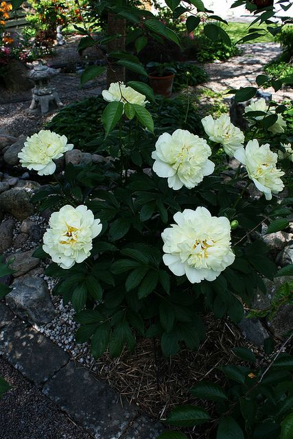 "Peony ""Guldsmedsgården"" By Hermann Krupke 