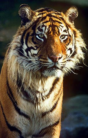 The Sumatran tiger, numbering fewer than 400 individuals in the wild, is found exclusively on the Indonesian island of Sumatra, the last stronghold for tigers in Indonesia. Accelerating deforestation and rampant poaching across the Sumatran tiger's range mean that unless authorities enforce the law, this subspecies will soon follow the fate of its extinct Javan and Balinese relatives.