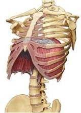 Anatomía Humana: Músculos del tronco. Tórax y abdomen