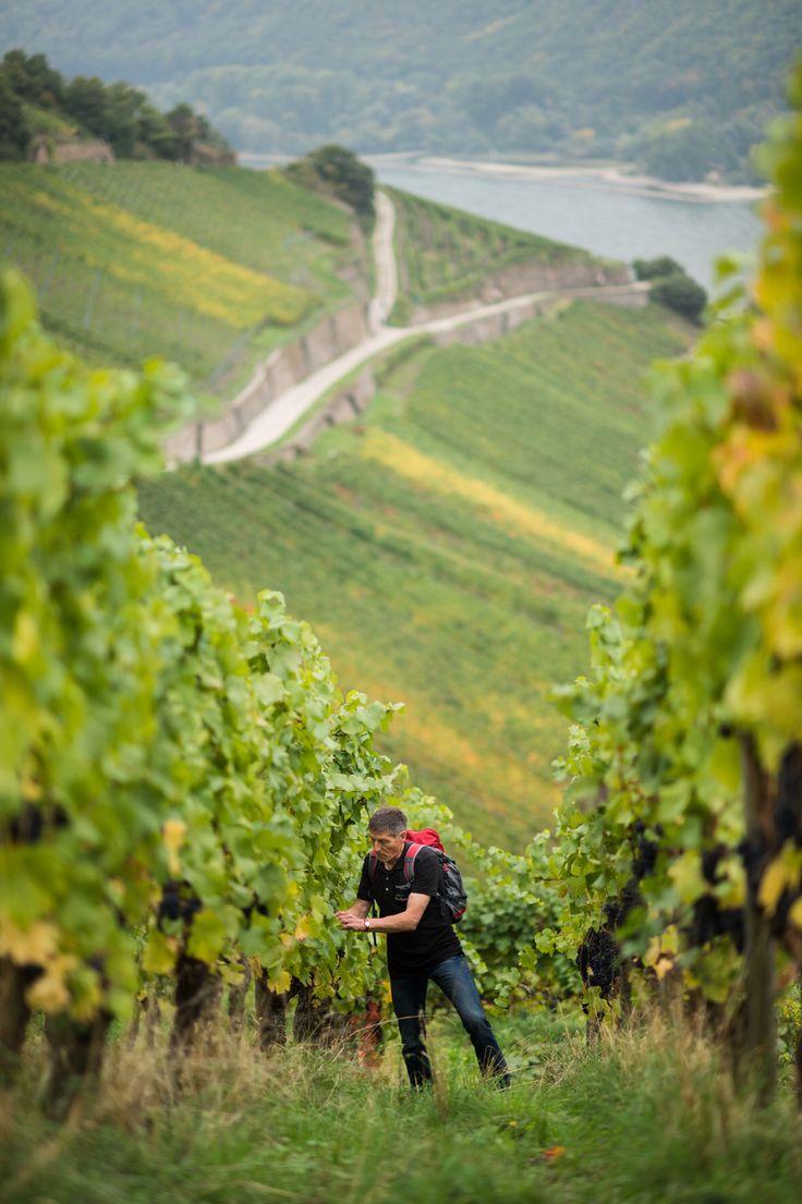 Der Rheingau in Hessen steht für Kultur, Wein und Natur. Eine Wanderung durch die Weinberge der Region mit einem der Weinkulturbotschafter bietet euch interessante Einblicke in den Weinanbau und die Region.