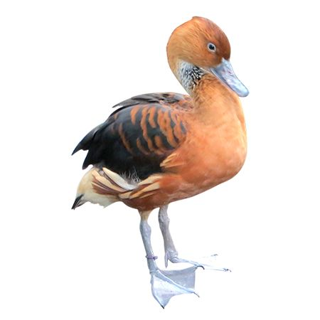 A red-orange feathered duck, standing proud and keenly aware of how handsome he looks.