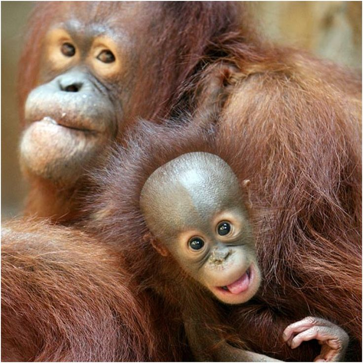 Best Monkeys Gorillas Apes Images On Pinterest Baby - 22 adorable parenting moments in the animal kingdom