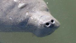 Where to see manatees in Florida; best places to see manatees
