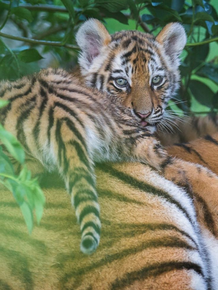 Small tiger on the back from his MOM!