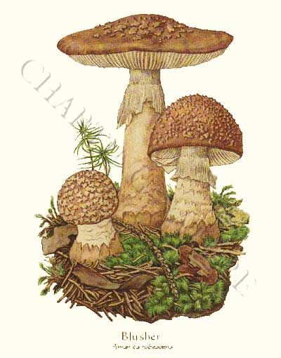 'Blusher' restored antique mushroom illustration - via Charting Nature