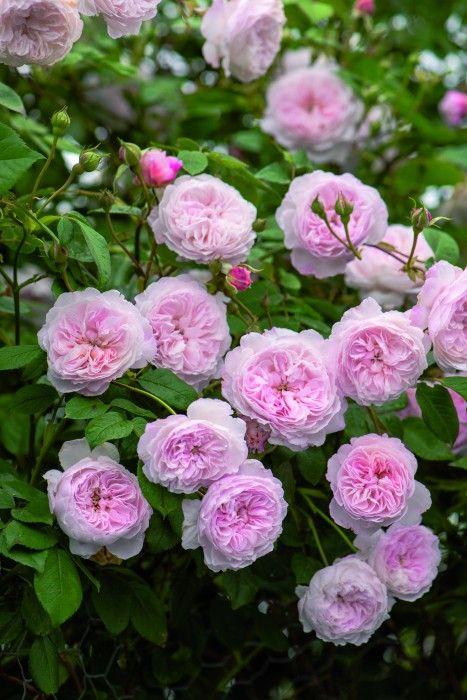 "Rosier anglais ""The Albrighton Rambler. #Jardin à l' #anglaise                                                                                                                                                     Plus"