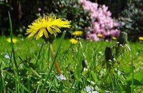 Anti pissenlit, 10 trucs et remèdes pour ne plus avoir de pissenlits dans le jardin et sur la pelouse.