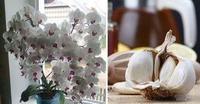 Usturoiul, un elixir pentru orhidee - într-o lună, vei avea o mulțime de flori frumoase