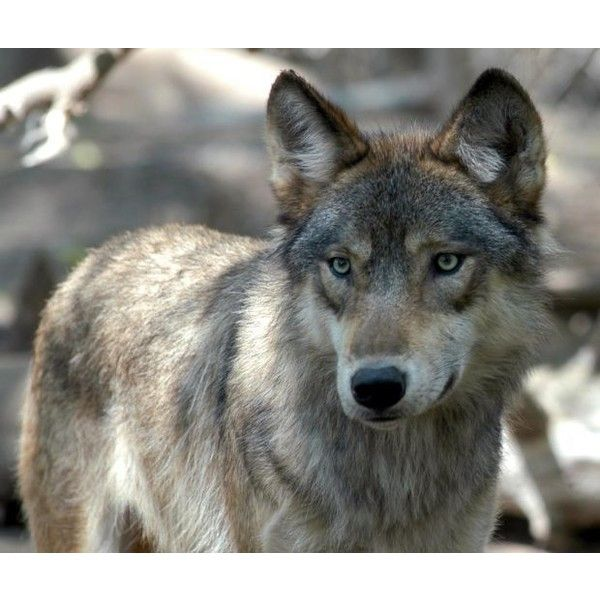 Illinois preps for possibility of wolf population ❤ liked on Polyvore featuring animals, backgrounds, pictures and wolves