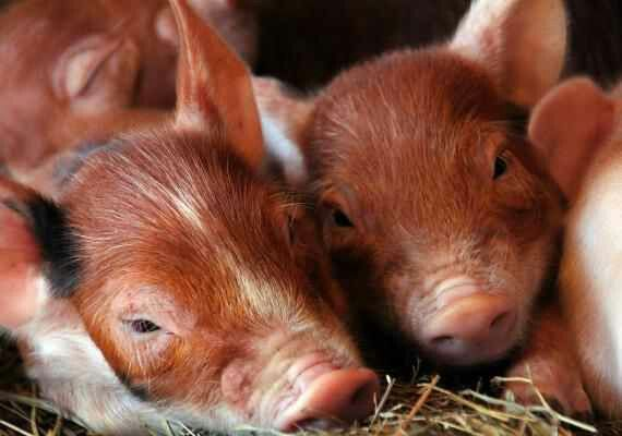 Piglets and ther Ginger's!