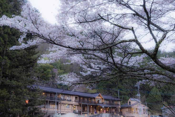 Hanami at Shima Onsen,Best time for cherry blossom