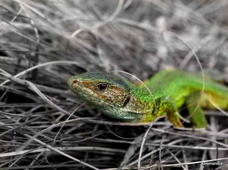 Colorsplash green lizard / Clickasnap