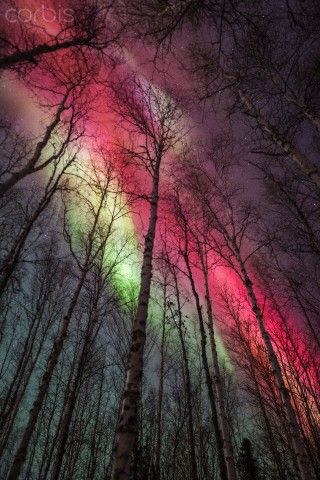 Aurora Borealis and Birch trees