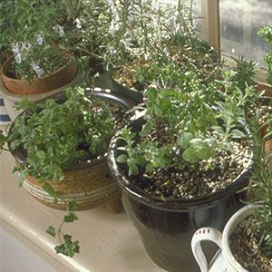 Indoor Herbs: A Growing Guide - Plus the 10 best herbs for windowsills