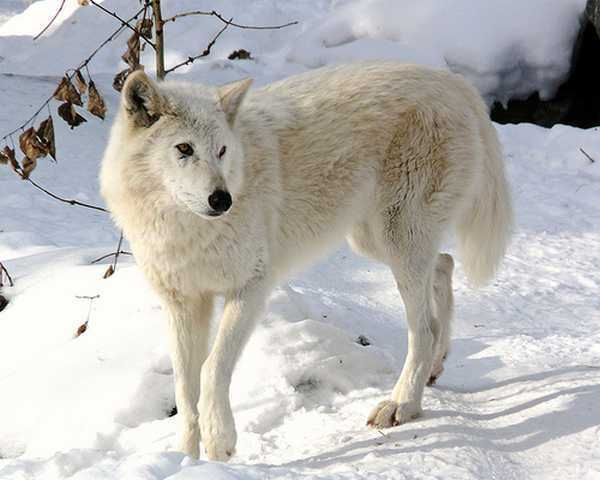 arctic wolves | Arctic-Wolf-wolves-9412659-600-480
