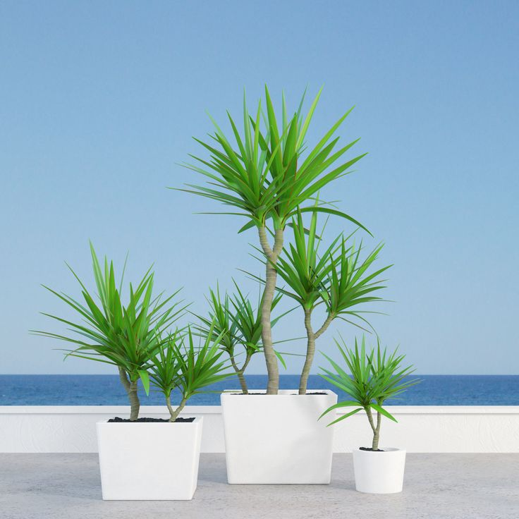 dracena marginata in pot 3d model max obj fbx mtl 1