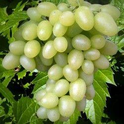 Беккер - Виноград Аркадия