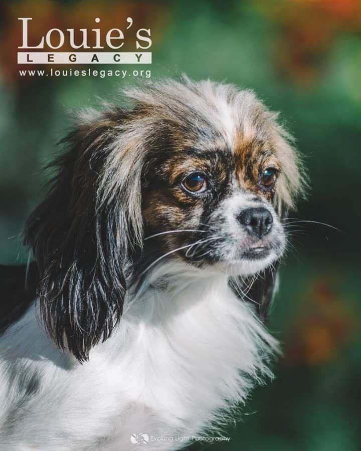 Peke Chi Mix Dog Breeds Breeds Dogs