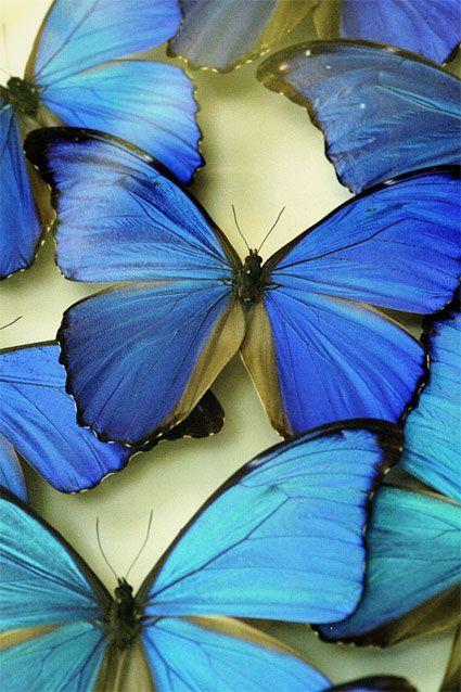 butterflies: Beautiful Butterflies, Blue Butterflies, Beautiful Blue, Blue Butterfly, Flutterby, Blue Morpho, Animal