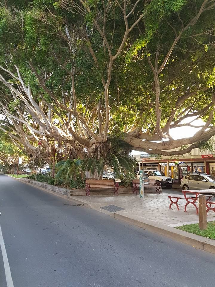 The village of Sawtell's fig trees