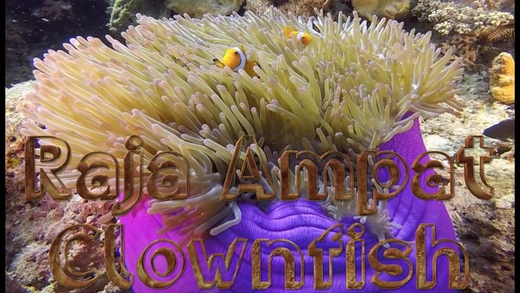 This video is about Anemonefish I observed during my recent trip to the Raja Ampat Islands in Indonesia.  Clownfish or Anemonefish are fishes from the subfamily Amphiprioninae in the family Pomacentridae.   Clownfish are very active and often seen doing various forms of acrobatics. It often seems to be clowning around. This observation was how its nickname was derived.