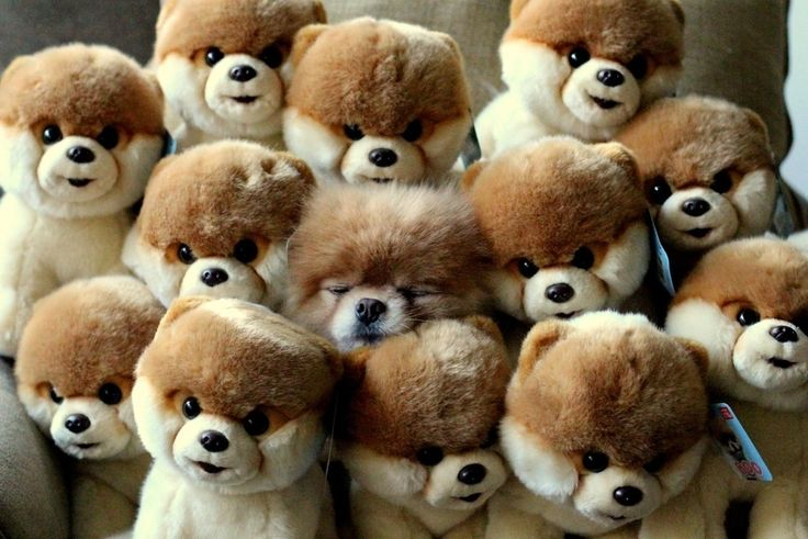KAWAIIIIIIIIIIIIIIIIIIIIIIIIIIIIIIIIIIIIIIIIIIIIIIIIII!!!!!!!!!! #booAnimal Pics, Fall Asleep, Toys Pomeranians, Cutest Dogs, The Real, Funny Pictures, Dogs Photos, Dogs Lovers, Little Dogs