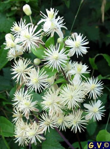 18016 best flower gardens images on pinterest flower gardening clematis flammula fragrant easy to grow pruning group 2 mightylinksfo