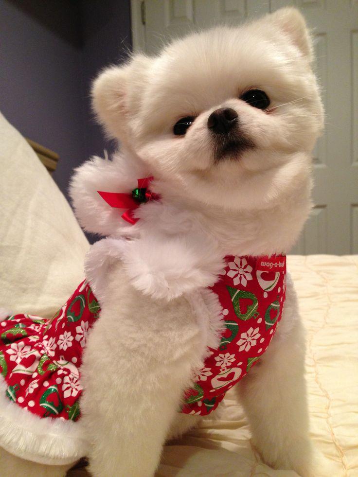 Pin by Linda Colatrella on I love Pomeranians especially