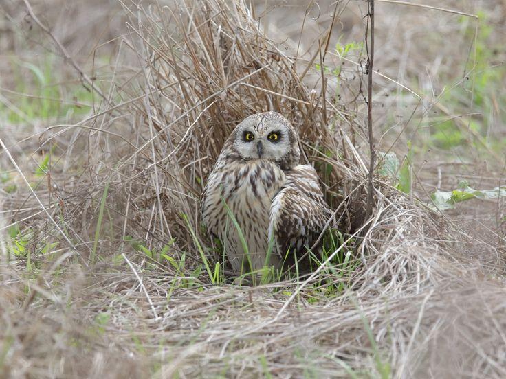 コミミズク 巣- - Short-eared owl come to Nagoya nearby for overwintering,nesting with good use of dry grass to avoid foreign enemies and cold wings.