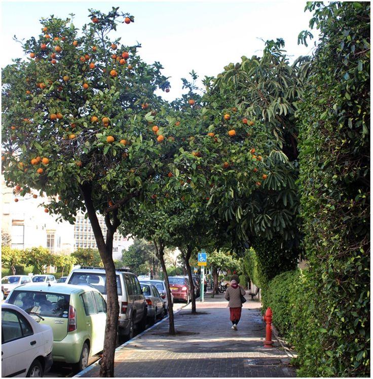 Orange trees along Laskov street