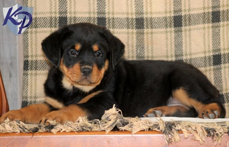 Fancy – Rottweiler Puppy www.keystonepuppies.com  #keystonepuppies #rottweiler