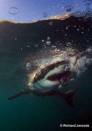 Weißer Hai in Afrika?? In Kapstadt kann man nicht nur den Tafelberg, Robben Island und die Waterfront bewundern, sondern auch faszinierende Erlebnisse unter Wasser sammeln. Richard Jaronek wird das unbeschreibliche Erlebnis mit dem Weißen Hai bestimmt nie vergessen #weißerhai #unterwasser #südafrika #atlantik #sonne #strand #tauchen #erlebnisreisen #wirodive ##tauchsafari #liebedeinleben #touchedbynature #unvergesslich #wow #sprachlos #perfekterurlaub