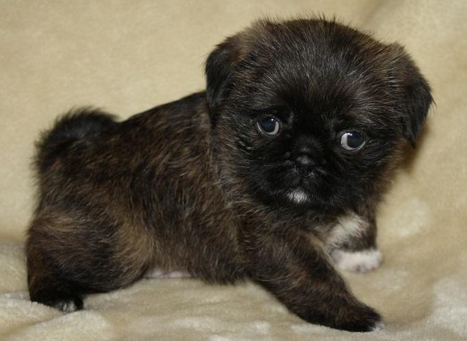 Pug and Shih Tzu Pug Zu | Mixed breed Dogs/Pups ...