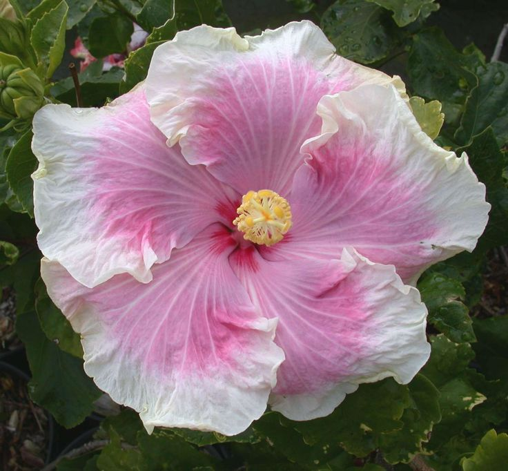 Hicky Web Series: 3893 Best Images About Hibiscus On Pinterest