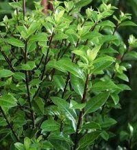 Pittosporum tenuifolium   Kohuhu