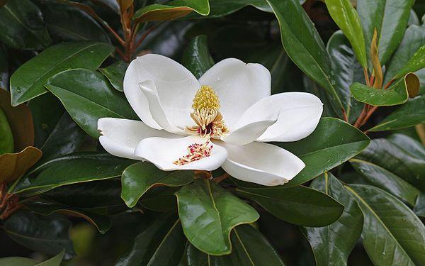 Μαγνόλια Αειθαλείς ποικιλίες: Το ύψος τους φτάνει τα 15-20 m. Τα φύλλα του είναι βαθυπράσινα, μεγάλα και γυαλιστερά ενώ τα άνθη μεγάλα και αρωματικά. Ανθίζει τον Ιούνιο και έχει εύρος ανθοφορίας περίπου 4 μήνες. Προτιμά εδάφη ημιασκιαζόμενα ή με πλήρη έκθεση στον ήλιο. Αντέχει έως τους -12 oC. Καλλωπιστικοί θάμνοι - Φυταγορά Σερρών