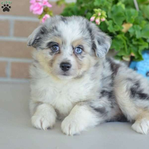 Eddie Miniature Australian Shepherd Puppy For Sale In Ohio Miniature Australian Shepherd Puppies Australian Shepherd Puppies Miniature Australian Shepherd