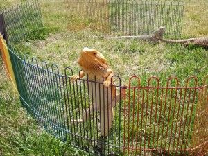 Bearded Dragon Outdoors in Summer