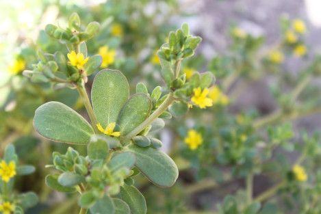Beldroega (Portulaca oleracea) ©Sabor de Fazenda