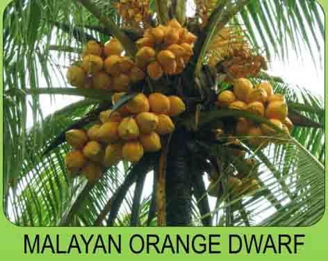 65 Best Coconut Tree Plantation Images On Pinterest