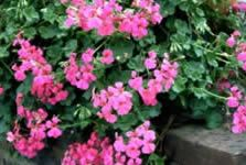 Stodels list of indigenous plants for a scented garden