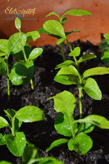 Citromfát nevelünk – a csírázás és növényfejlődés első hetei   Életszépítők